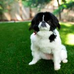 San Diego Pet Turf Installation, Artificial Pet Turf Company